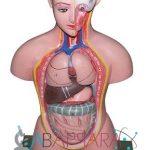 Human body (Torso) Small size