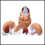 Human Brain-4 PARTS