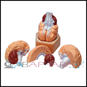 brain 4 part, Educational model, biological instruments, zoological equipments,