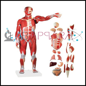 Human Muscle, manufacturer, Human Muscle exporter, Anatomy Model supplier, Human Muscle distributor, science model, ind
