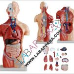 Human Sexless Torso 45cm( 18 Parts)