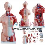 Human Sexless Torso 85cm (20 Parts)