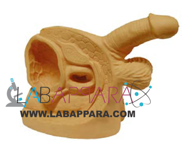 Advanced Male Internal and External Genital Organs.educational model, Medical instruments supplier, Laboratory equipments exporter, School equipments, biological instruments, zoological equipments, University Instruments, Scientific instrument manufacturer, Industrial instrument dealer, Research Equipment, lab Instruments Manufacturer, Supplier, Exporter.