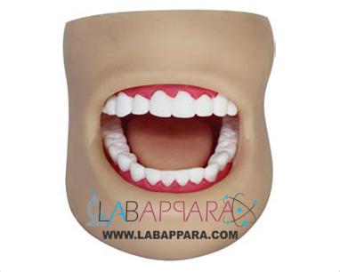 Dental Care Model (With Cheek), Educational Fiber Model, lab Instruments Manufacturer, Supplier, Exporter.