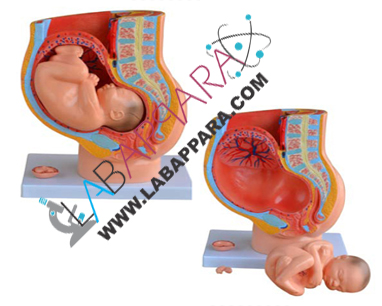 Female Urogenital System,educational model, Medical instruments supplier, Laboratory equipments exporter, School equipments, biological instruments, zoological equipments, University Instruments, Scientific instrument manufacturer, Industrial instrument dealer, Research Equipment, lab Instruments Manufacturer, Supplier, Exporter.