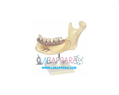 Half Lower Jaw, Educational Equipments, scientific equipments, educational instrument supplier, measuring equipment, Laboratory equipment suppliers, biology lab equipment manufacturers, laboratory zoological equipment, science instruments manufacturer, supplier, exporter.