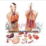 Human Anatomy Torso 18 Parts