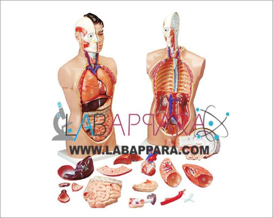 Human Anatomy Torso 18 Parts Laboratory Instruments