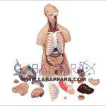 Human Anatomy Torso Unisex 16 Parts