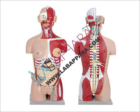 Human Torso Dual Sex 24 Parts, Anatomy Models supplier, science model, zoology models manufacturer