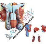 Male Genital Organ Model