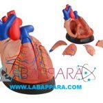Middle Heart Model