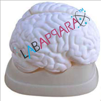 Brain Model, Medical instruments supplier, scientific educational models, Laboratory equipments exporter, biological instruments, Anatomy Models supplier, science model manufacture, zoological equipments, distributor, fiber model, anatomical osteoporosis model, zoology, manufacturer.